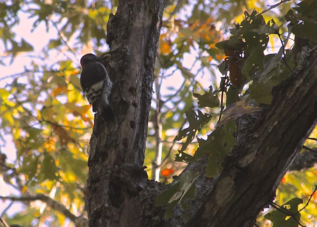Red Headed Woodpecker, fall 2014