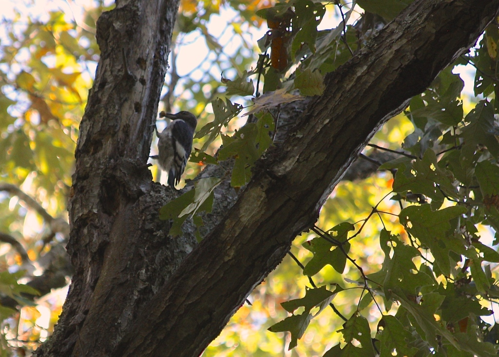 Juvenile Red-Headed Woodpecker storing acorns in forest near NC Botanical Garden, Fall 2014.