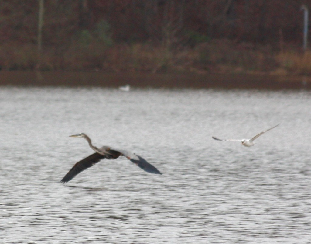 Heron vs Seagull - 3 of 4