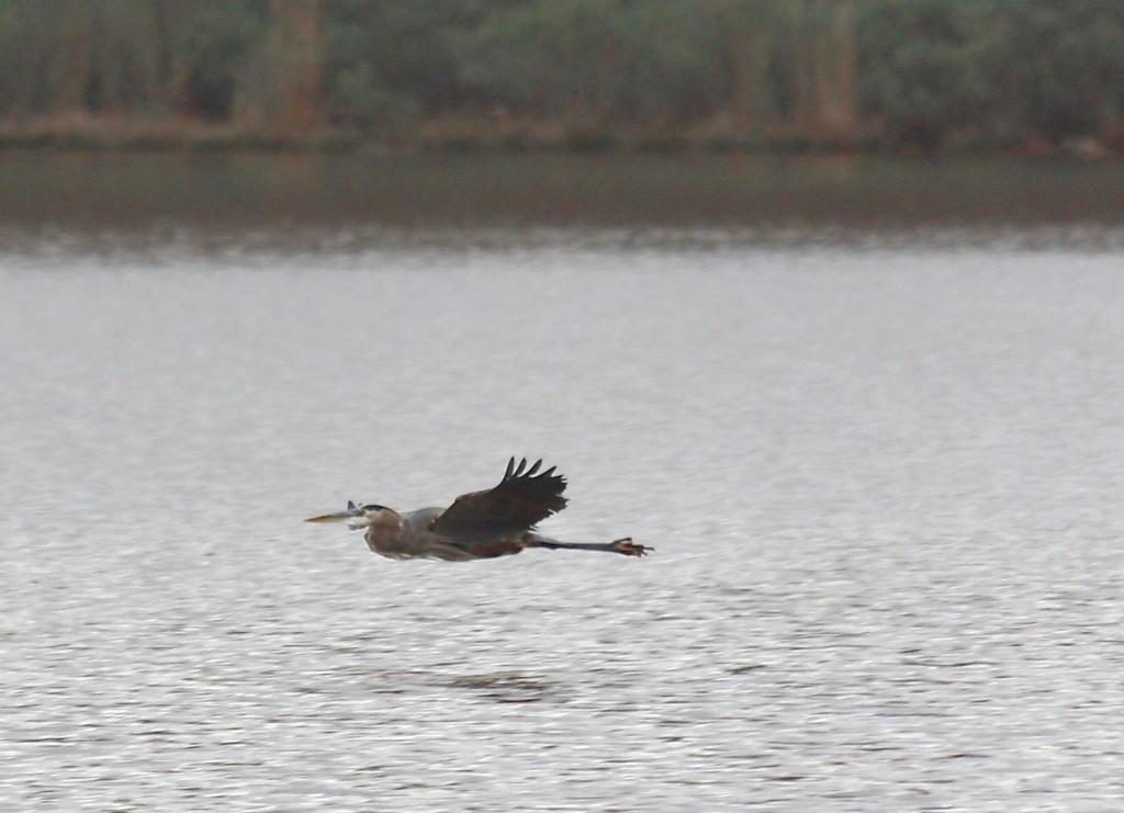 Heron vs Seagull - 4 of 4