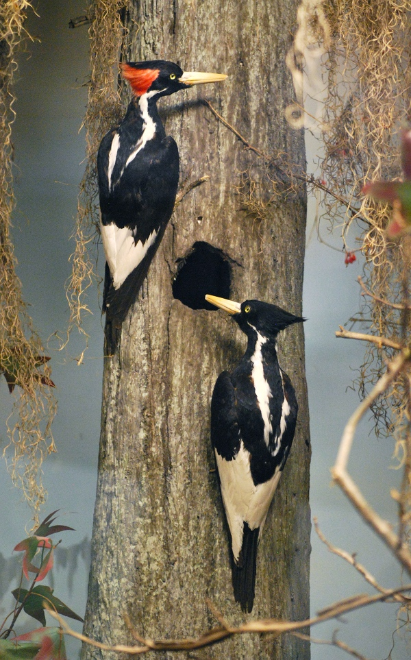 ivory billed woodpeckers by Laura G Young